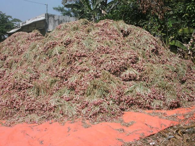 hasil panen bawang merah kota pare