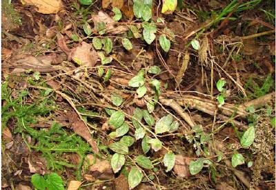 Aka Hills, Gaultheria akaensis, rare plant, arunachal wildlife, BRO, border Roads Organisation