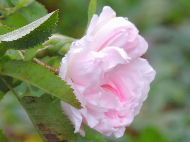 rosier arbustif