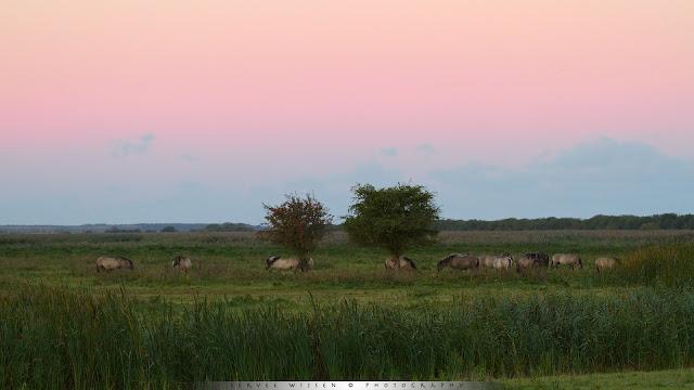 Koniks bij zonsopkomst - Koniks @ dawn - Equus caballus caballus