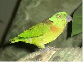 Black-collared Lovebird or Swindern's Lovebird (Agapornis swindernianus)