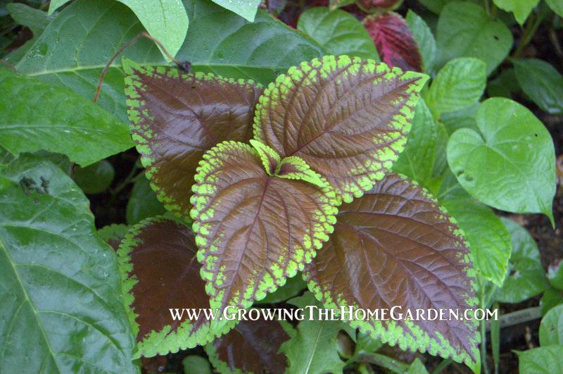 Self Sowing Coleus In The Garden Growing The Home Garden