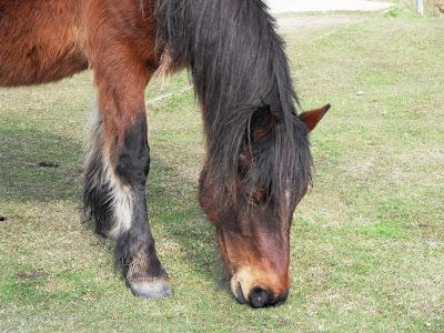Bodmin Moor wild pony in Cornwall