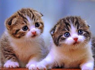 Cara Memandikan Kucing Persia Anggora ( Grooming )