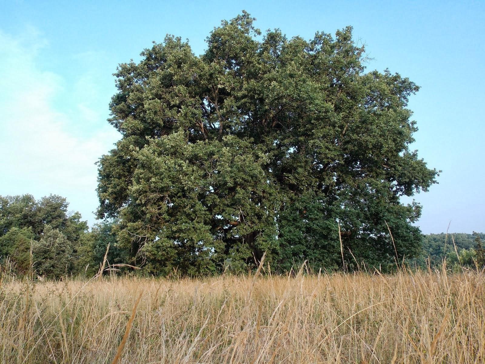 Le chêne de l'éperon de Murat, Ferrière-Larçon