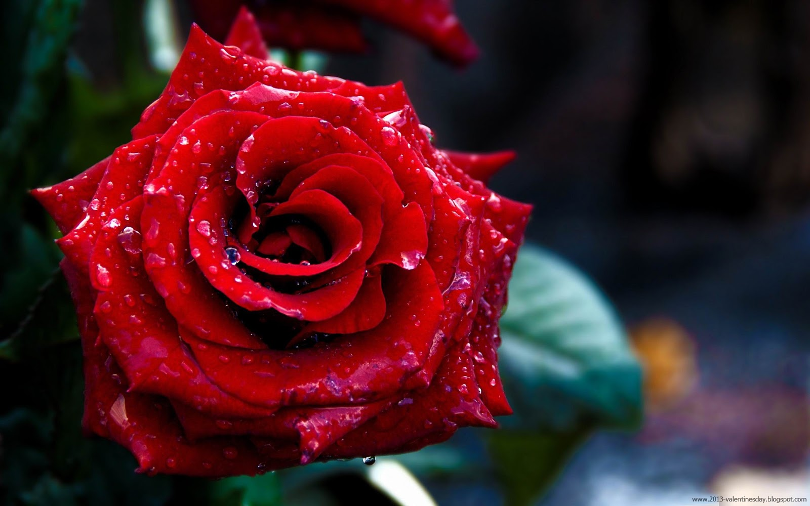 red rose background hd - photo #15