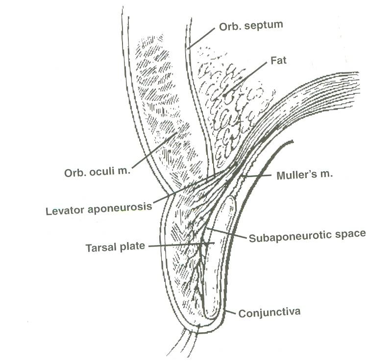 Attractive Anatomy Of The Eyelid Component - Anatomy Ideas - yunoki.info