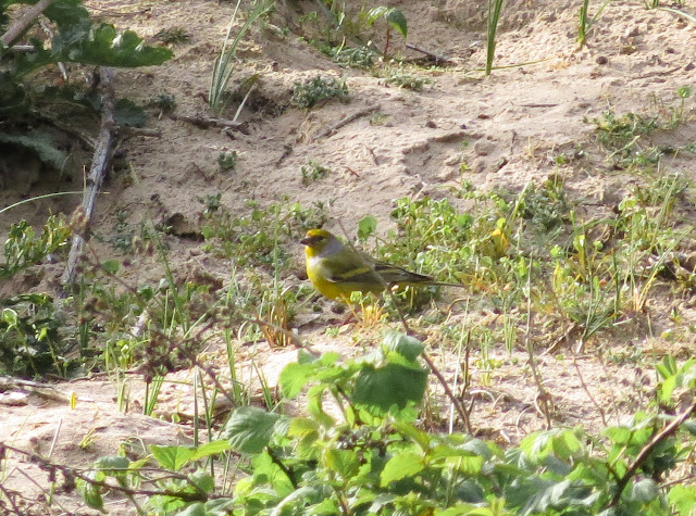 Citril Finch, Holkham Pines, Norfolk