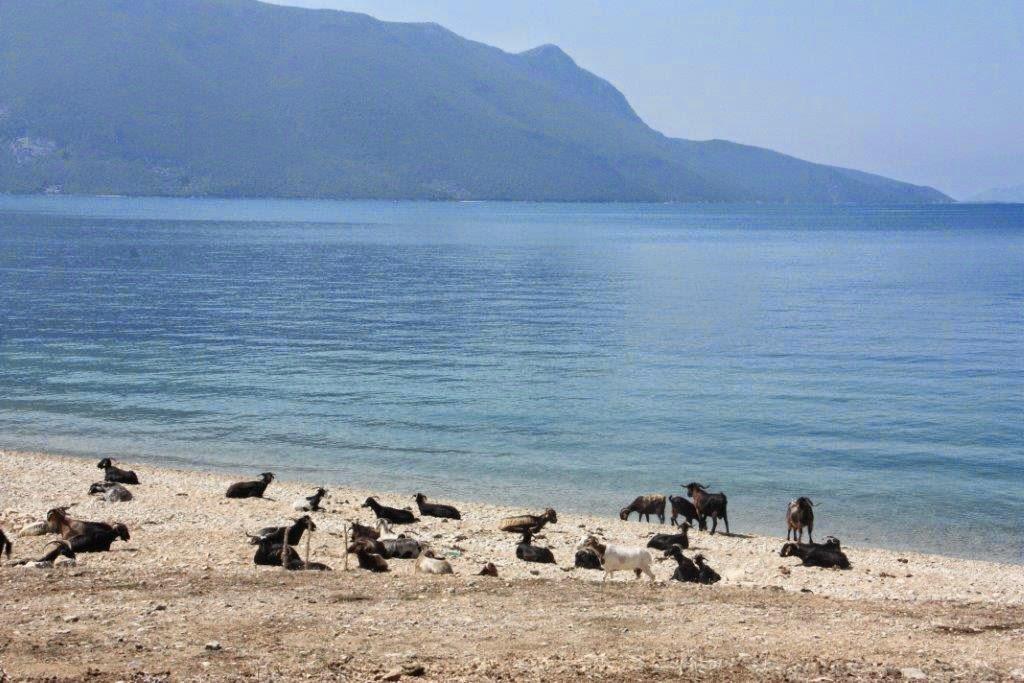Κοπάδι γίδια κάνουν «ηλιοθεραπεία» στην παραλία