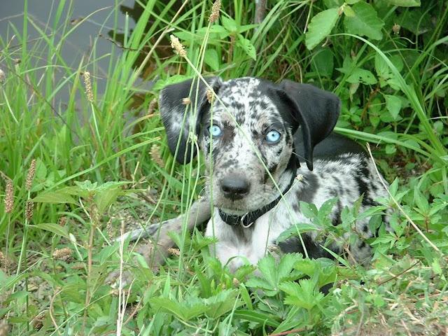Extreme Dog Breeds: Catahoula Leopard Dog
