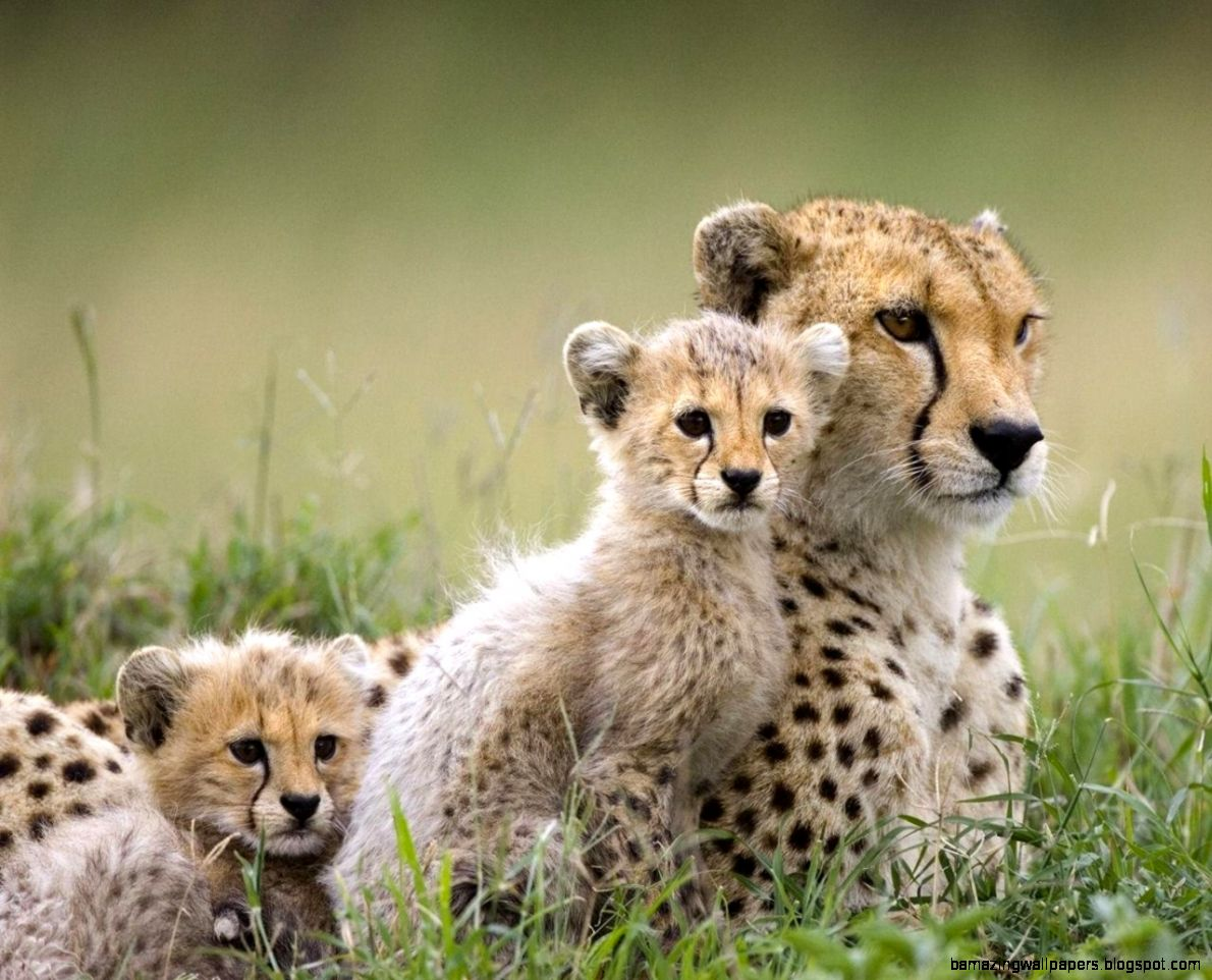 Cheetah Family   Wild Animals Wallpaper 2603080   Fanpop