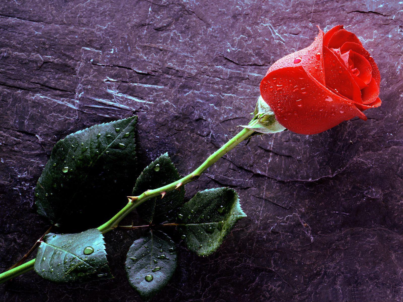 Red Rose Single Wallpaper HD