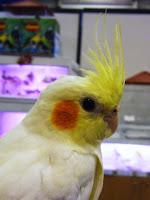 Aves: caturra