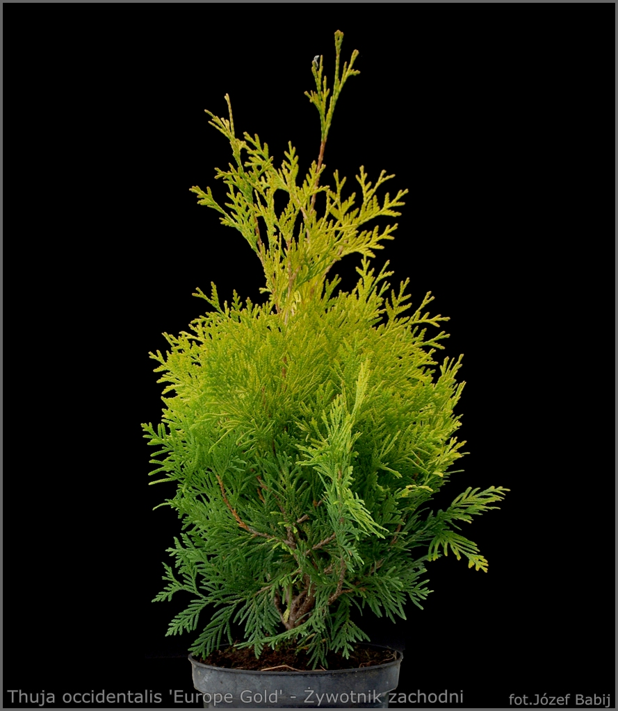 Thuja occidentalis 'Europe Gold' - Żywotnik zachodni