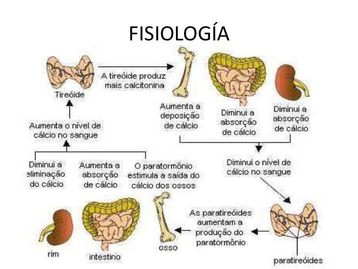 Anatomía e histología de paratiroides
