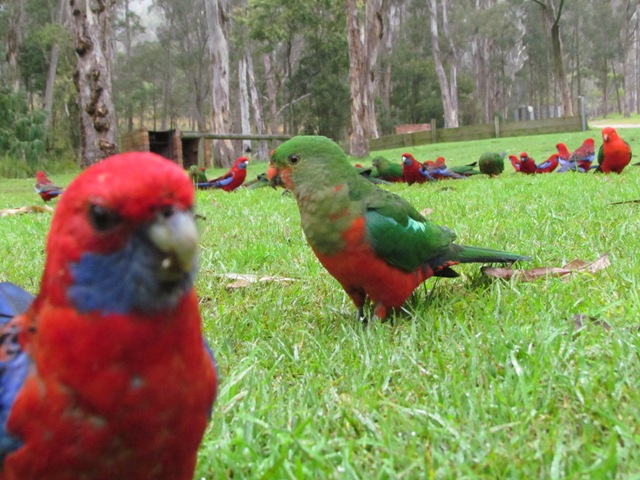Crimson Rosella and King Parrot