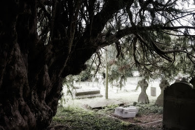 grand old tree in Cusop churchyard