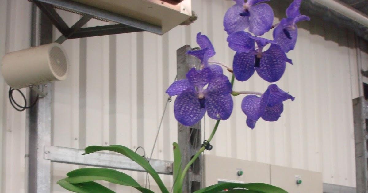 fleuriste isabelle feuvrier l 39 orchid e vanda. Black Bedroom Furniture Sets. Home Design Ideas