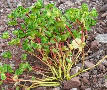 Euphorbia hinkleyorum I.M. Johnst.