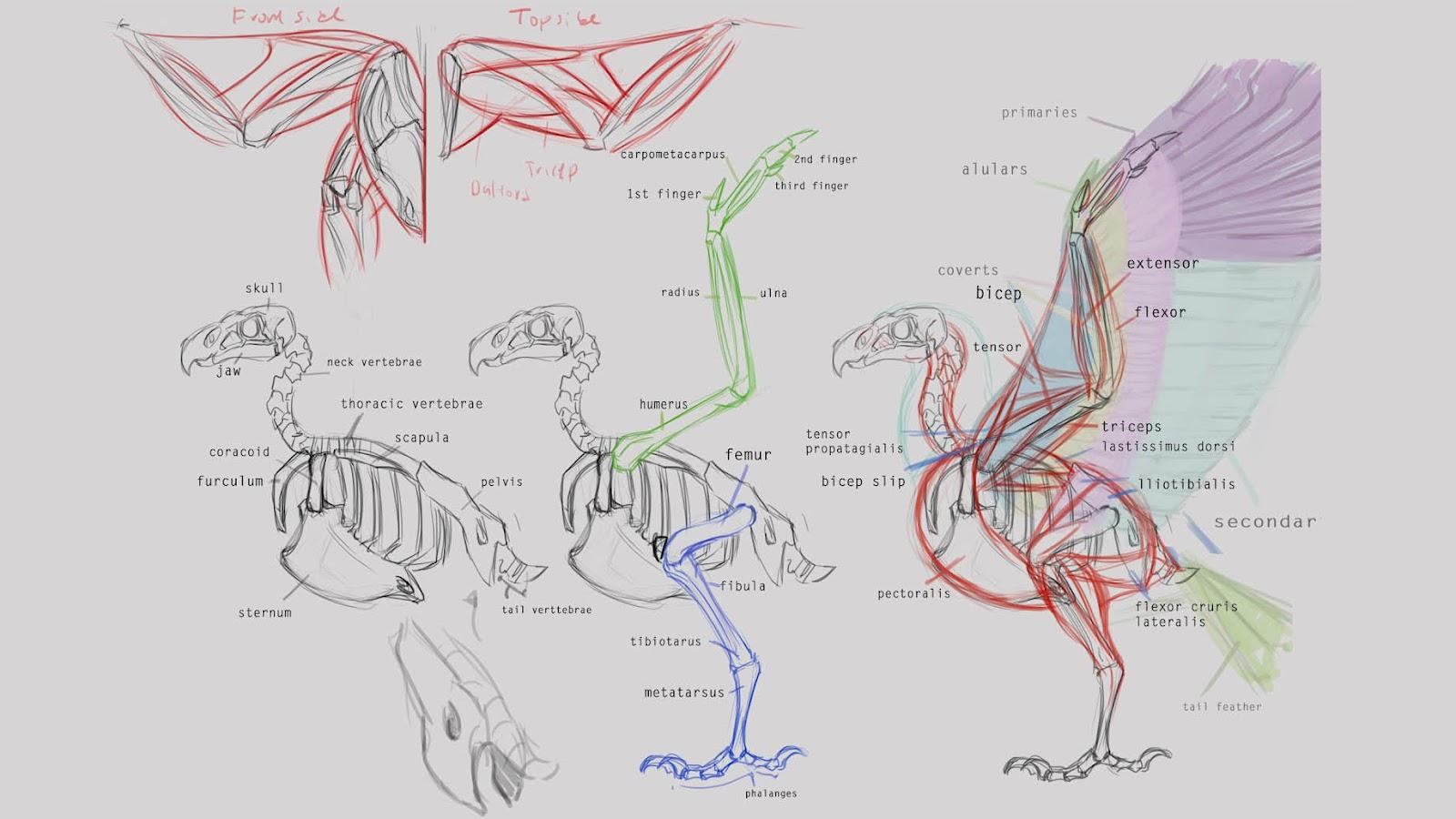 Rigging Asylum: Bird Anatomy - Skeletal