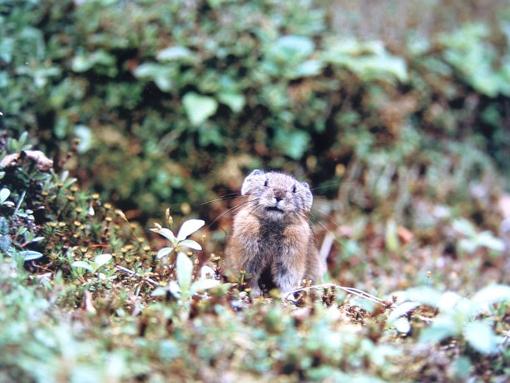 輝く瞬間(とき) エゾナキウサギ写真展