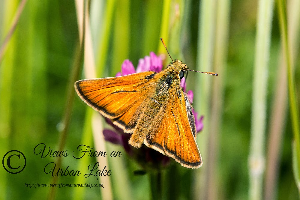 Small Skipper - Loughton Valley Park, Milton Keynes (2014)
