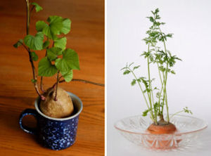Solution Genie How To Regrow Vegetables In Kitchen