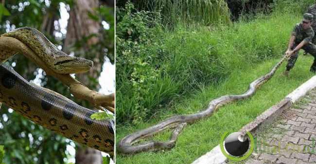 Anaconda Hijau 8,5 meter / 28 inci