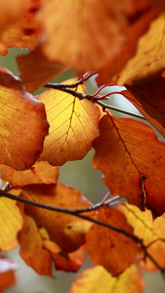 Autumn Orange Leaves Macro  Galaxy Note HD Wallpaper