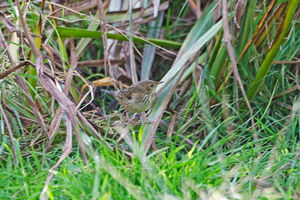 LANCEOLATED WARBLER-QUENDALE-SHETLAND-7TH OCTOBER 2014