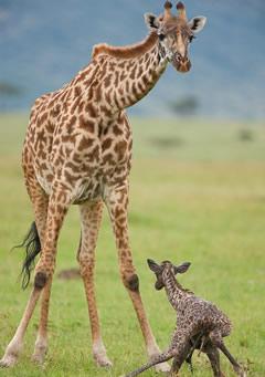 Giraffe - Tsavo Park