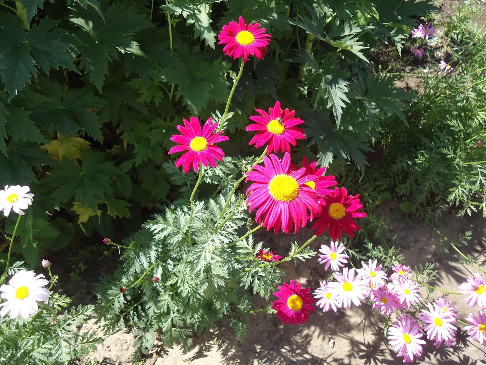 Цветок пиретрум фото и описание