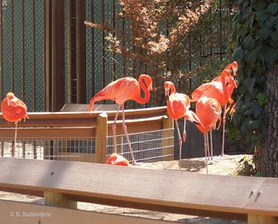 Flamingos at Charles Paddock Zoo, Atascadero, © B. Radisavljevic