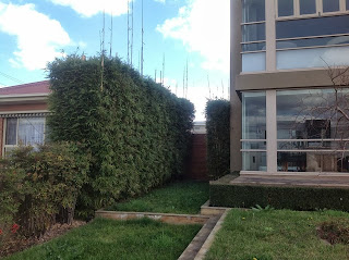 bamboo creations victoria gracilis used as a hedge
