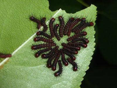 Periphoba rosacea caterpillar