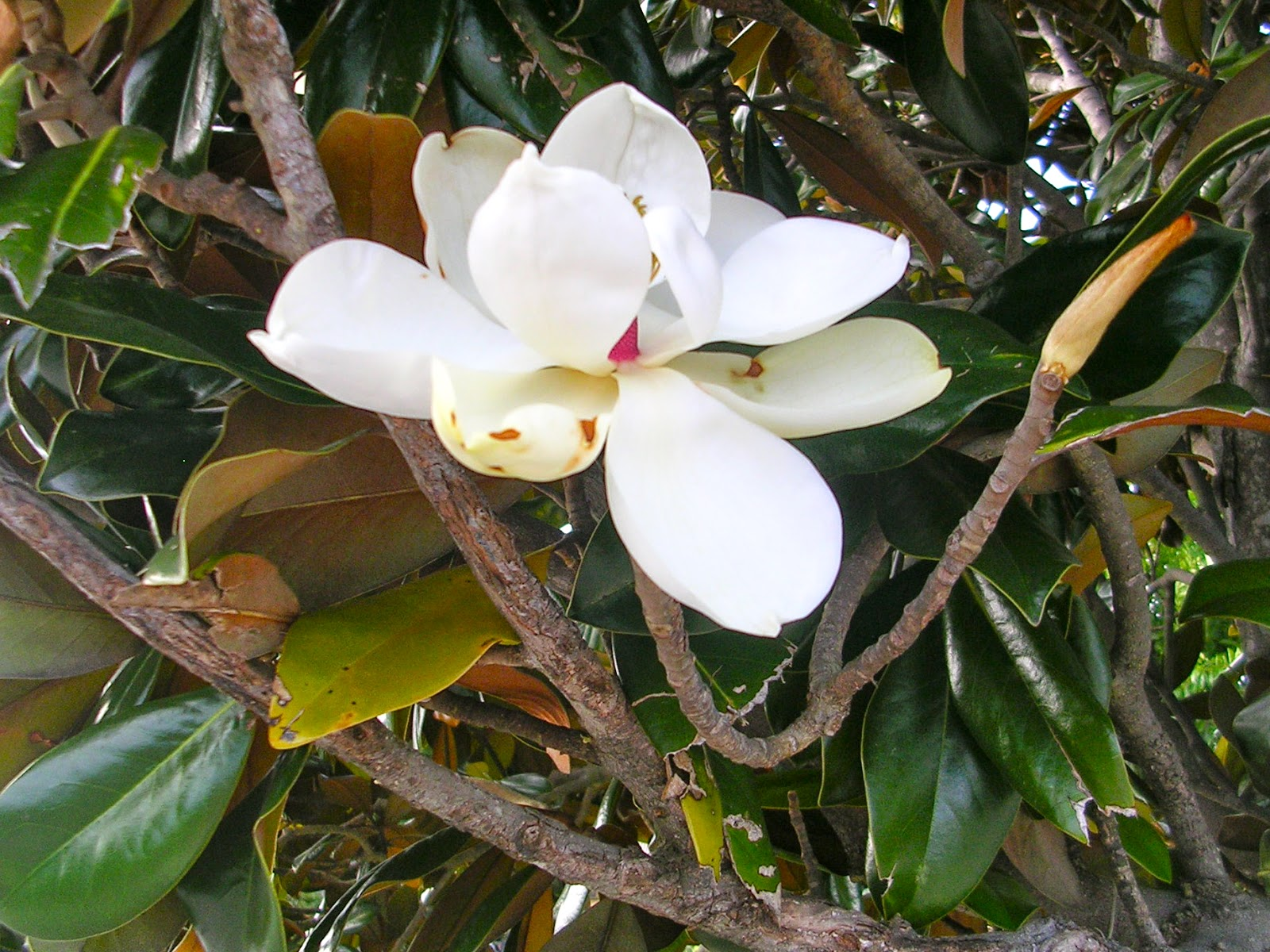 caterinagiglio the meaning of magnolia flowers, Natural flower