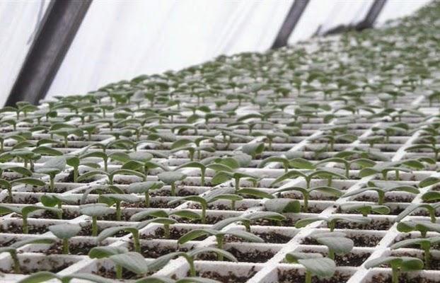 أنتاج شتلات الخضر تحت الصوب الزراعية