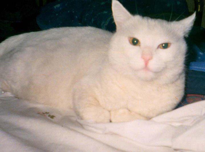 Adotta un gatto anziano micione bianco candido come la for In cerca di una nuova casa