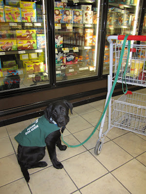 Four month old black lab puppy Romero is sitting in front of one of the freezers in the ice cream aisle at the grocery store. He is wearing his green future dog guide jacket that is starting to get a little small on him. His green leash is looped over the handle of a small grocery cart that contains various containers of fruit. Although this is his first time visiting the grocery store, he looks very non-chalant about the situation.