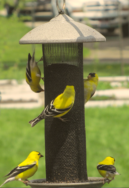 Goldfinches - One Upsidedown