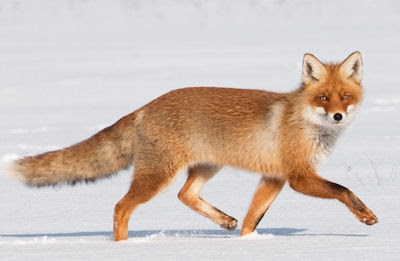 Zorro café caminando en la nieve - Little fox walking
