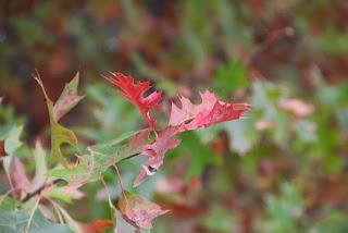 photo of autumn oak leaves