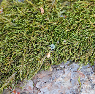 Musgo Scorpiurium circinatum de la familia Brachytheciaceae