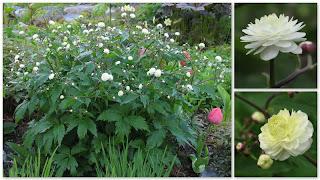 Stormhattsranunkel Ranunculus aconitifolius 'Flore Pleno'