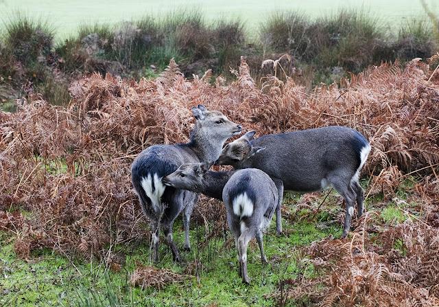 Sika deer in their winter coat.  Kmole Park, November 2015.