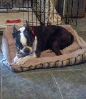 northeast boston terrier rescue new foster frank. Black Bedroom Furniture Sets. Home Design Ideas
