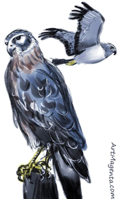 The northern harrier sketch painting. Bird art drawing by illustrator Artmagenta.