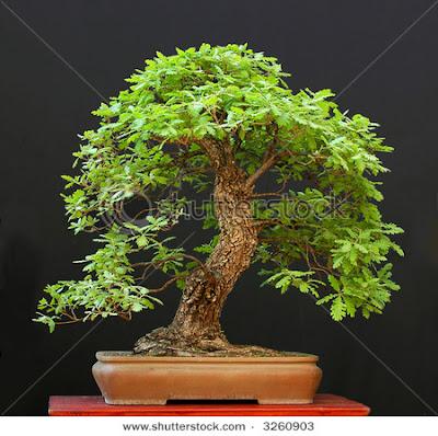 Eiche bonsai