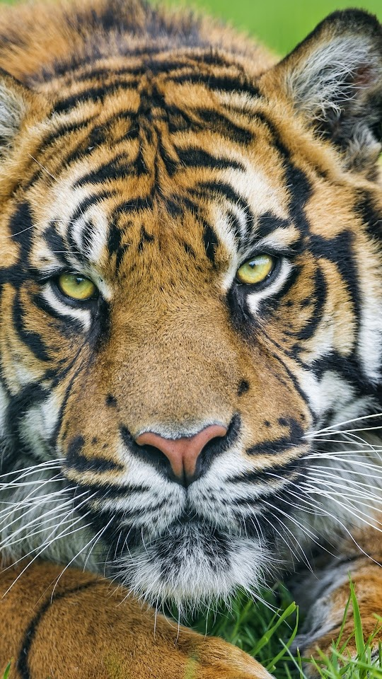 Sumatran Tiger Face Galaxy Note HD Wallpaper