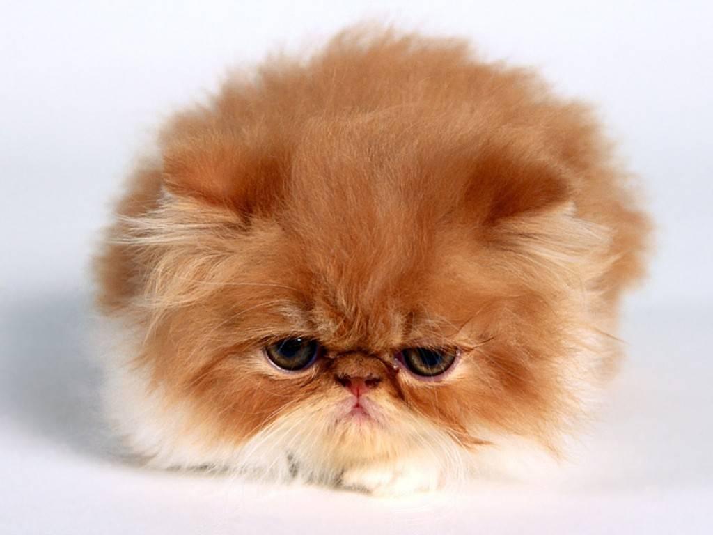 http://3.bp.blogspot.com/-TgRM2qwG0QE/TfyQ2HRl6RI/AAAAAAAAAck/6uNiq1NU5xg/s1600/Vanessa,_Persian_Kitten.jpg